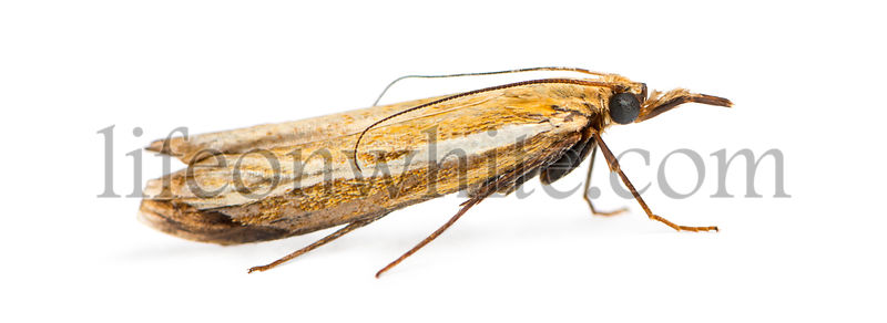 Side view of an Agriphila tristella, isolated on white