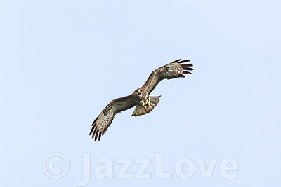 Buzzard flying towards camera.