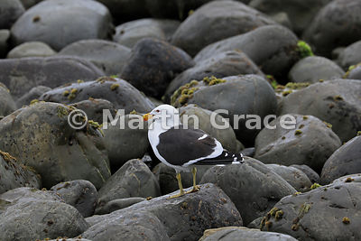 Southern Black-Backed Gull (Larus dominicanus dominicanus) among boulders above the shoreline of Kapiti Island, Wellington, N...