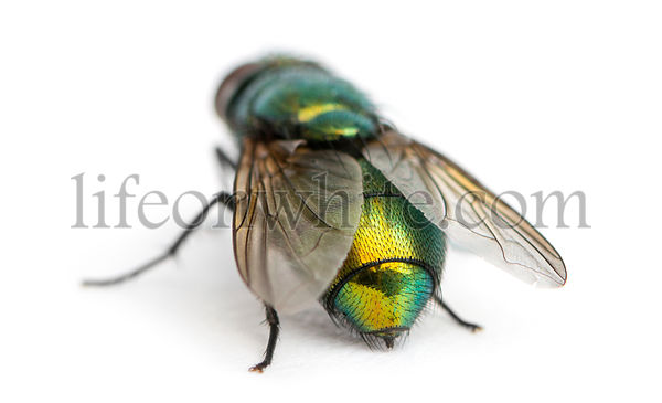 Back view of a Common green bottle fly, Phaenicia sericata, isolated on white