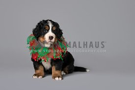 bernese mountain dog puppy in green & red collar