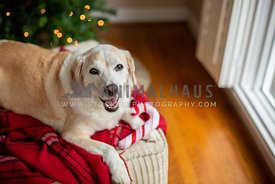 A smiling dog with a stuffed toy candy cane in front of a Christmas tree