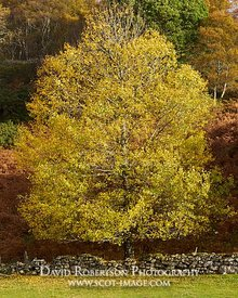Image - Silver birch tree in autumn