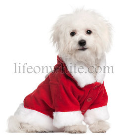 Bolognese puppy in Santa outfit, 6 months old, sitting in front of white background