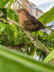 Young black bird in the town
