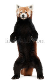 Old Red panda or Shining cat, Ailurus fulgens, 10 years old, standing in front of white background