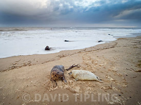 Grey Seal  Halichoerus grypus mother and pup North Norfolk January