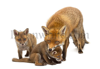 Mother fox with her cubs (7 weeks old) in front of a white background