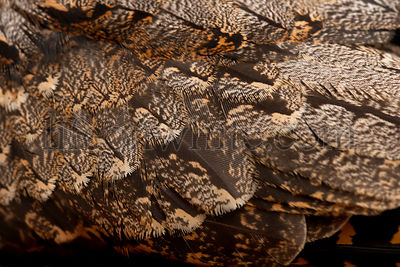 European Nightjar, or just Nightjar, Caprimulgus europaeus, close up