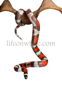 Pueblan milk snake or Campbells milk snake, Lampropeltis triang