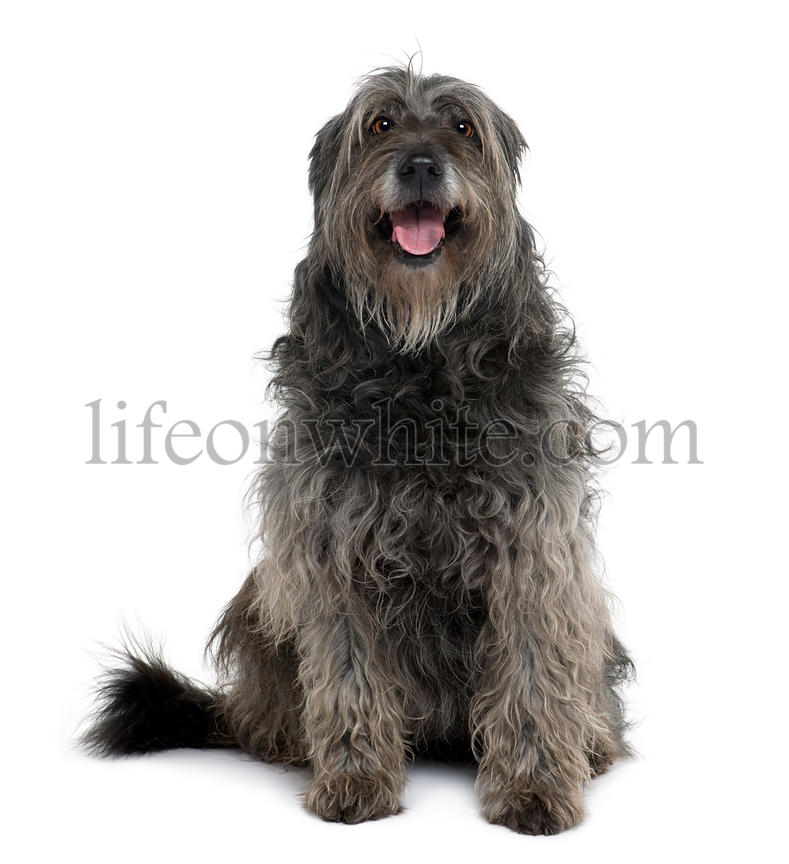 Catalan Sheepdog, 12 years old, sitting in front of white background