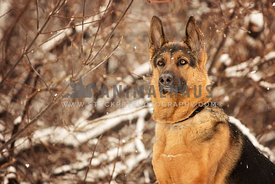 German Shepherd portrait looking away