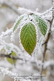 Image - Blackberry leaves in frost, Rubus fruiticosus