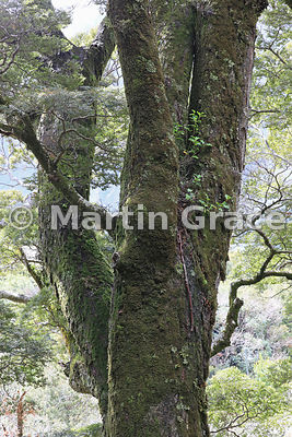 Silver Beech (Nothofagus menziesii), Governor's Bush Track, Mount Cook National Park, Canterbury, South Island, New Zealand