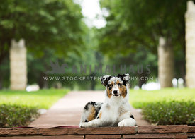 Tri colored aussie lays on flagstone walkway in park with stone pillars