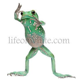 Waxy Monkey Leaf Frog, Phyllomedusa sauvagii, standing in front of white background