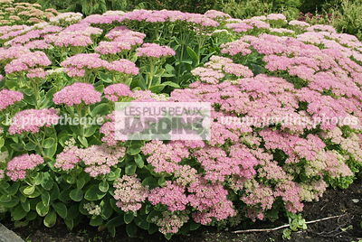 Sedum spectabile 'Brillant'. Hollande