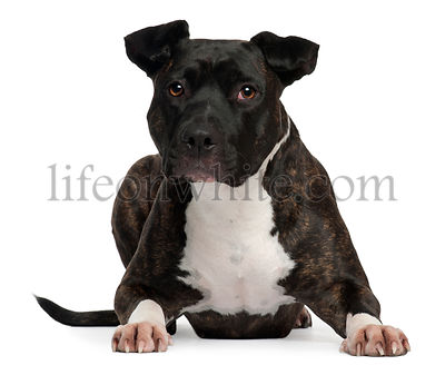 American Staffordshire Terrier, 2 years old, lying in front of white background