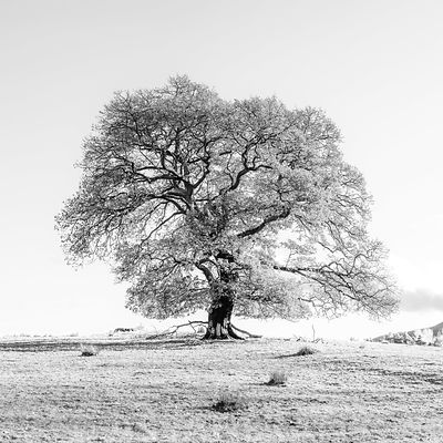 Tree on a hill, black and white