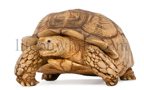 African Spurred Tortoise, Geochelone sulcata, in front of white background