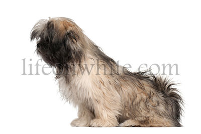 Lhasa apso sitting against white background