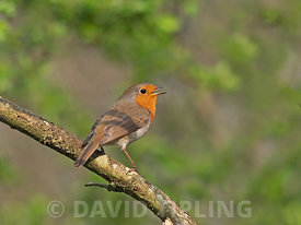 Robin Erithacus rubecula male in song Norfolk winter