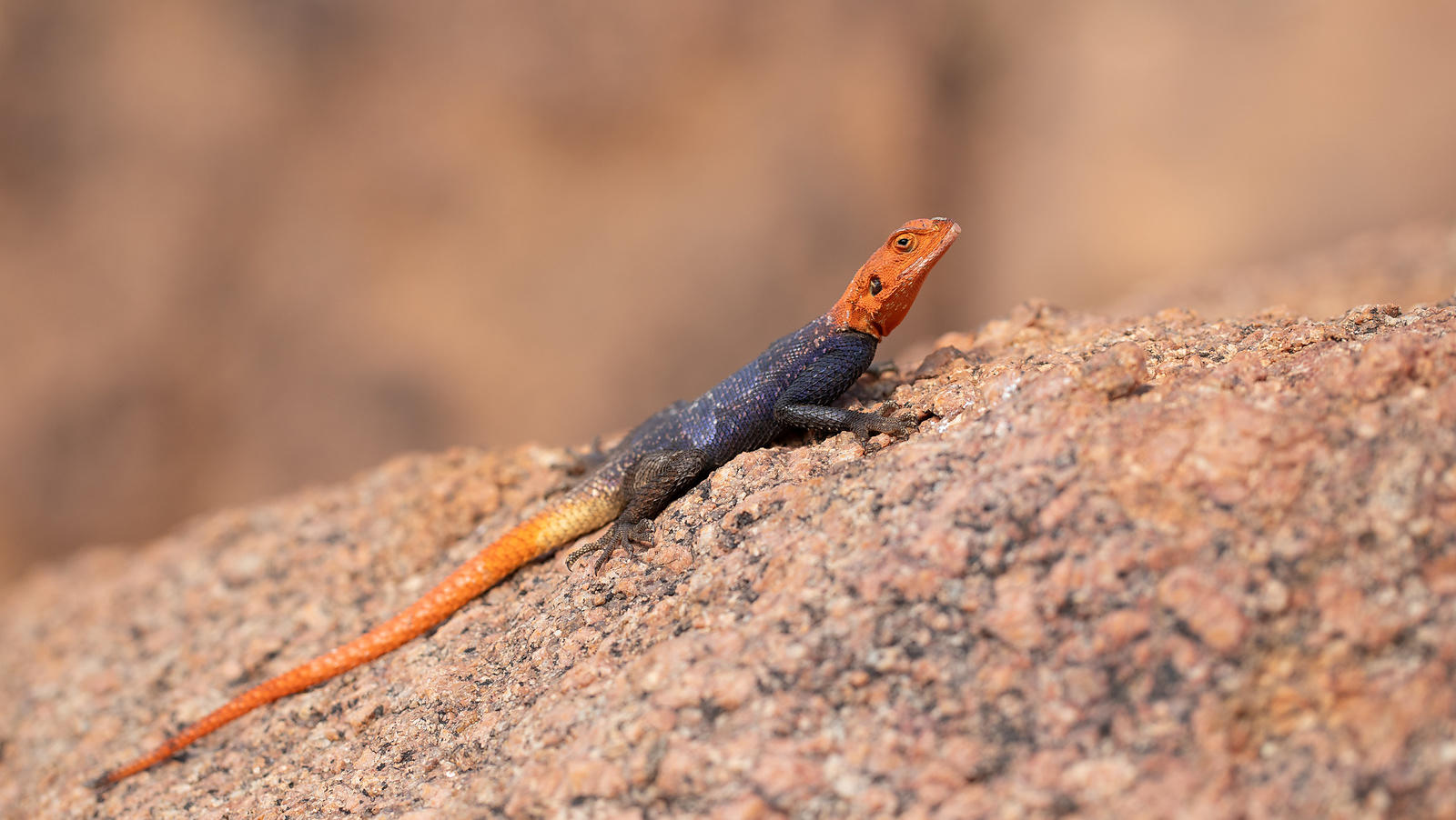 Red-headed Rock (Rainbow) Agama, Mowani, Namibia