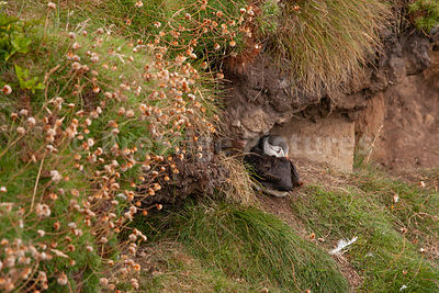 Puffin curled up wrapped in its wings