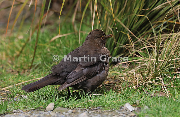 Female Eurasian Blackbird (Turdus merula merula), Zealandia, Wellington, North Island, New Zealand