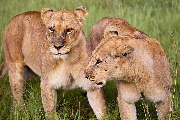 Chatting Lionesses
