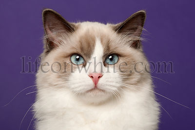 Ragdoll cat, 6 months old, in front of purple background