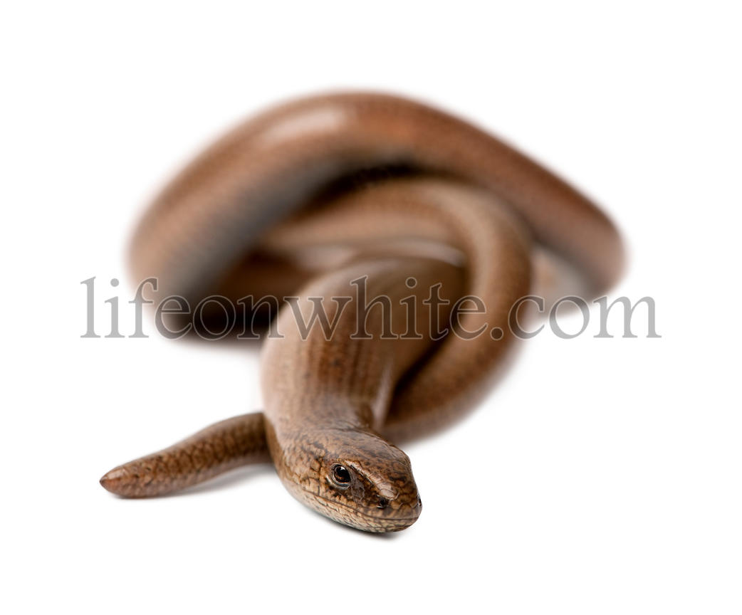 front view of a slowworm - Anguis fragilis