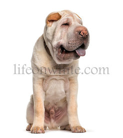 Shar Pei, 5 months old, sitting in front of white background