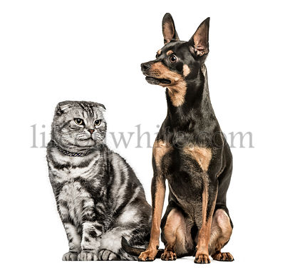 Scottish Fold and German Pinscher sitting together