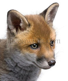 Close-up of red fox cub, Vulpes vulpes, 6 weeks old