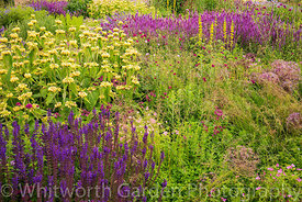 The Perennial Meadow at Scampston Hall Walled Garden, North Yorkshire, designed by Piet Oudolf. Planting includes Phlomis rus...