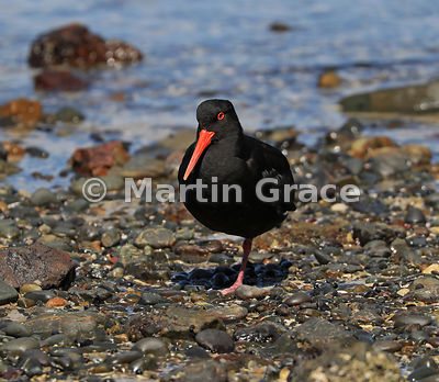 Dark morph Variable Oystercatcher (Black Oystercatcher) (Haematopus unicolor) resting on one leg on the shore at Tiritiri Mat...