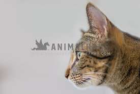 Side view of a tabby cat on a white background