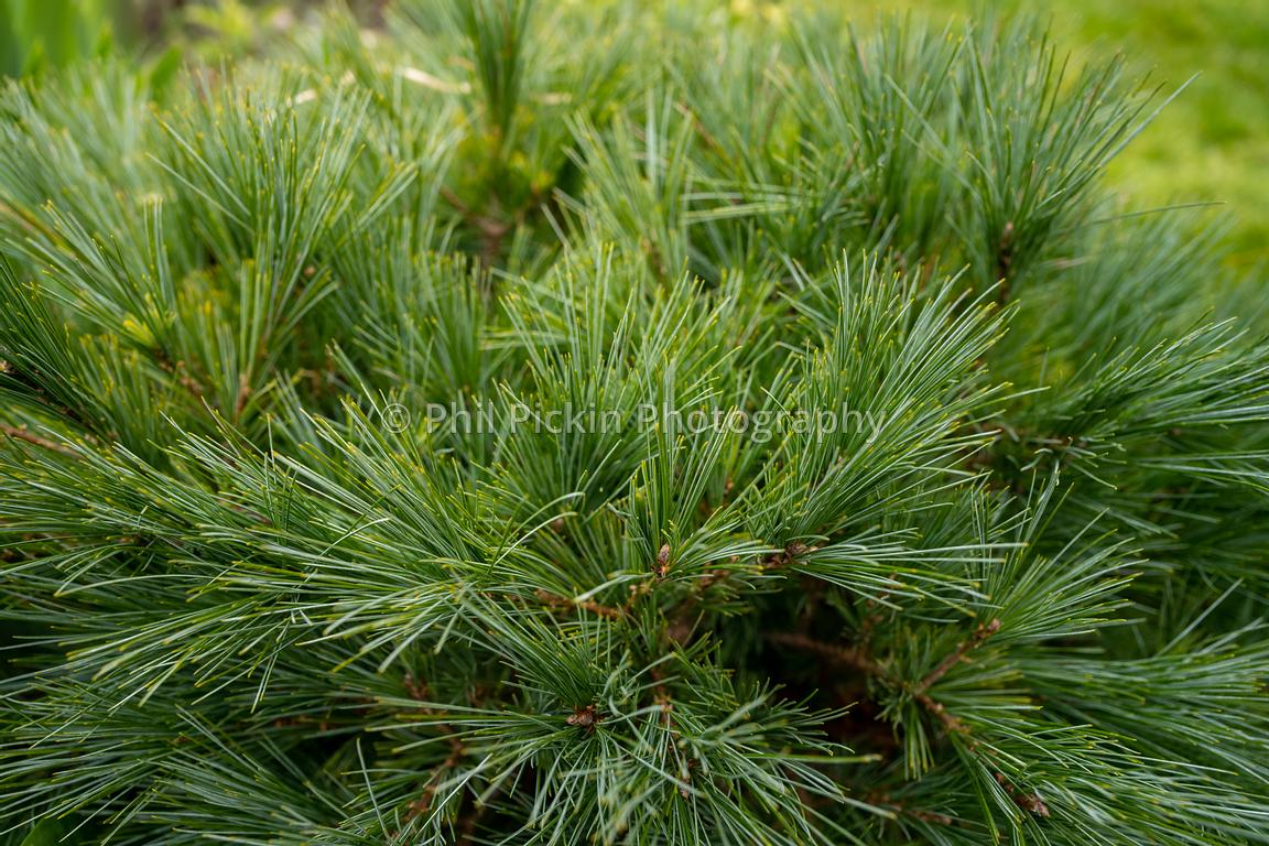Dwarf mountain conifer