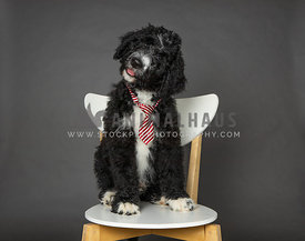 Black bernedoodle puppy on grey background in studio