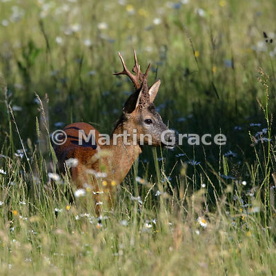 Roe Deer buck (Capreolus capreolus) in a South Lakeland grazing meadow with prominent Oxeye Daisies (Leucanthemum vulgare), J...