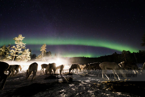 Reindeer under the northern lights in Finnish Lapland