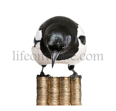 Common Magpie, Pica pica, perching on stacks of 1 Euros Coins in front of white background