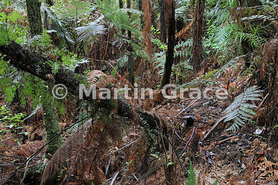 Luxuriant understorey of ferns in native bush, Waiau Falls, Coromandel Peninsula, North Island, New Zealand