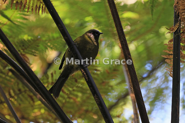 Bellbird (Anthornis melanura) perching in a tree fern, Moeraki, West Coast, South Island, New Zealand