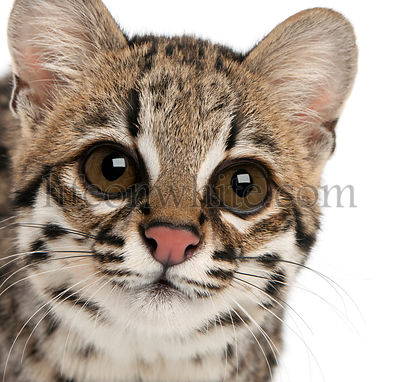 Close-up of Oncilla, Leopardus tigrinus, 1 year old, in front of white background