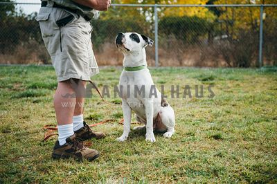 Obedient large white bully breed dog sitting next to owner at park