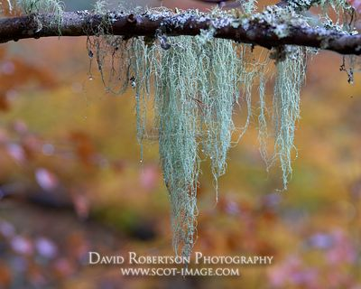 Prints & Stock Image - Shaggy Beard Lichen, Usnea hirta hanging from branch, Badenoch and Strathspey, Highland, Scotland.