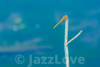 Dragonfly perching on dry stick.