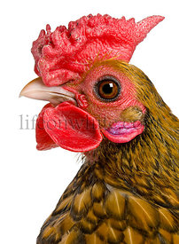 Close-up headshot of Golden Sebright rooster, 1 year old